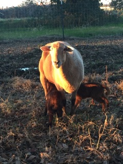 mom sheep with nursing babies, www.catholichomesteader.com, catholic homesteading